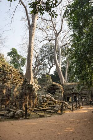 strangler: ANGKOR WAT, CAMBODIA - JANUARY 27, 2015: Ruins of Ta Prohm temple in Angkor Wat. Angkor Wat is the largest Hindu temple complex and religious monument in the world