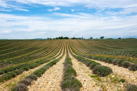 Endless rows of lavender fields of the French Provence