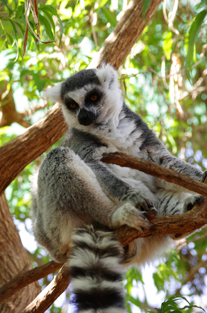 Ring-tailed lemur sitting on the tree at Monkey park, Tenerife, Canary island