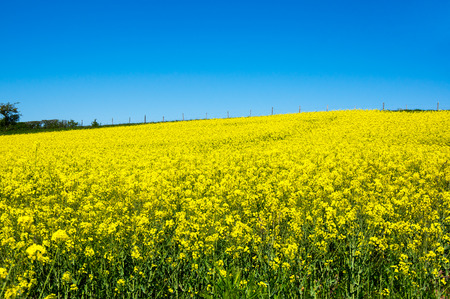 Yellow colza field with a blue sky, France