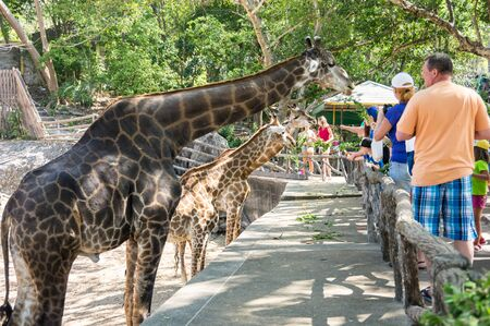 PATTAYA, THAILAND - FEBRUARY 01, 2017: View of tourists feeding giraffes in Khao Kheow Open Zoo in Pattaya, Thailand