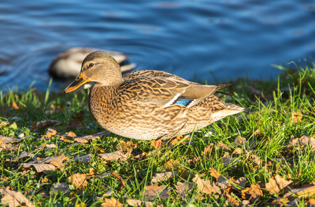 View of mallard ducks on the shore of the pond