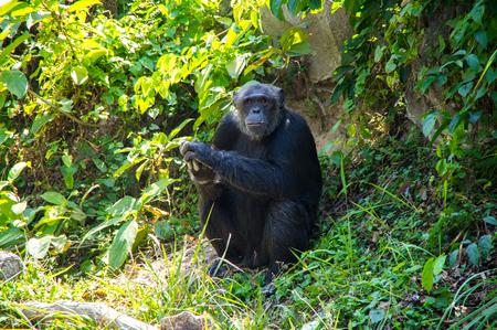 View of chimpanzee at zoo in Pattaya, Thailand