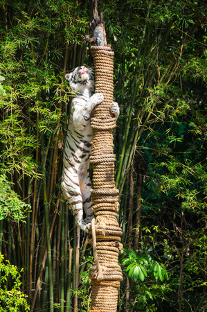 View of tiger at zoo in Pattaya, Thailand