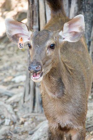 View of deer in Khao Kheow Open Zoo in Pattaya, Thailand 写真素材