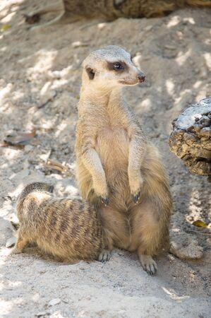 View of meerkats in zoo, Pattaya, Thailand