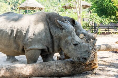 View of rhinoceros at zoo in Pattaya, Thailand