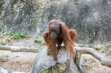 View of orangutan at zoo in Pattaya, Thailand 写真素材 - 133699123