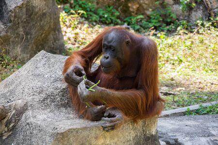 View of orangutan at zoo in Pattaya, Thailand