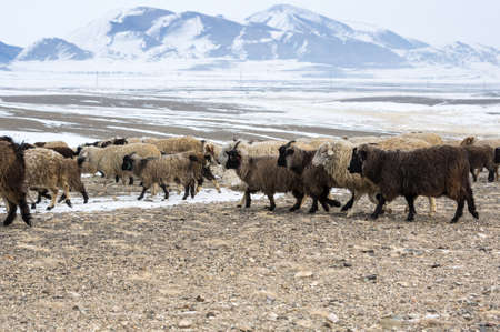 Herd of sheeps in Kurai steppe in the winter, Altay mountains, Siberia, Russia