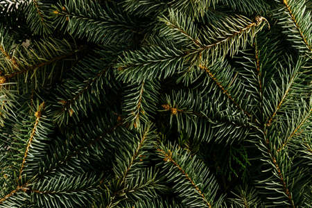 Layout made of Christmas tree branches. Nature New Year concept.