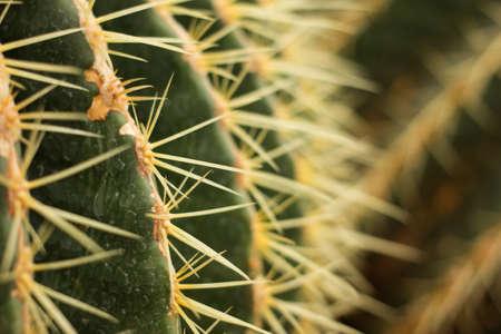 Closeup cactus needles