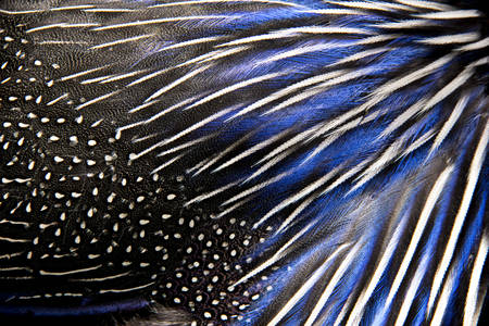 whith and blue coloured feathers of the pheasant  Picture can be used as a background