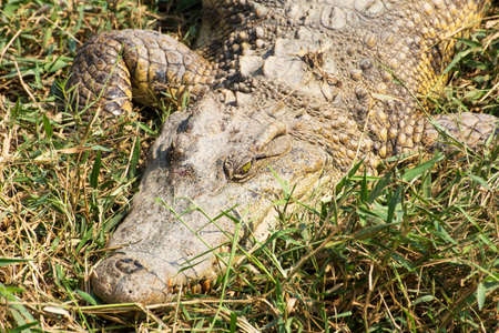 crocodile laying on the grass in the wild Stock Photo - 25442439