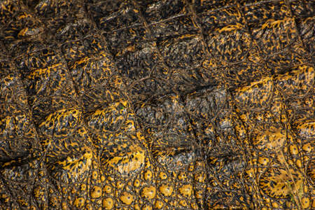 Crocodile skin texture  Shot in Thailand Stock Photo - 25442442