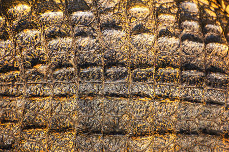 Crocodile skin texture  Shot in Thailand Stock Photo - 25442443