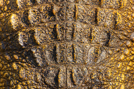 Crocodile skin texture  Shot in Thailand Stock Photo - 25442444