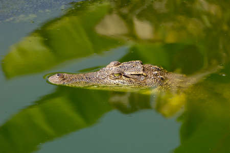 small crocodile swimming above water in the wild Stock Photo - 25442450