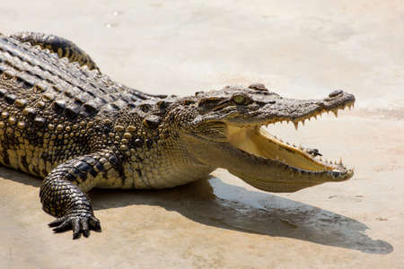 Dangerous crocodile open mouth resting in the sun Stock Photo - 25442452