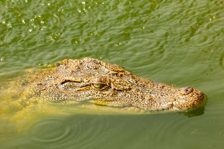 crocodile swimming above water Stock Photo - 26012509