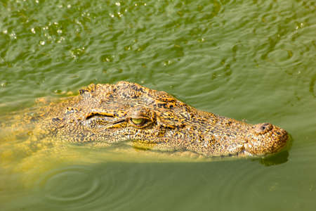 siamensis: crocodile swimming above water Stock Photo