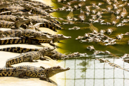Small crocodiles in the crocodile farm, Thailand Stock Photo - 26011115