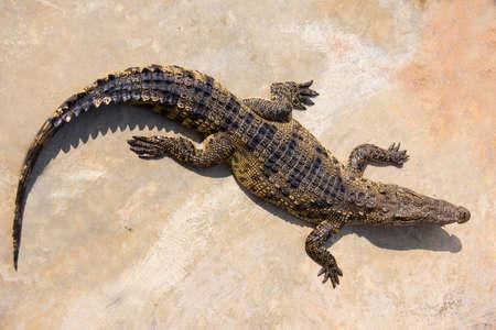 crocodile laying in farm Stock Photo - 27334566