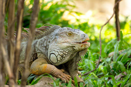 iguana lizard laying on the grass in the wild photo
