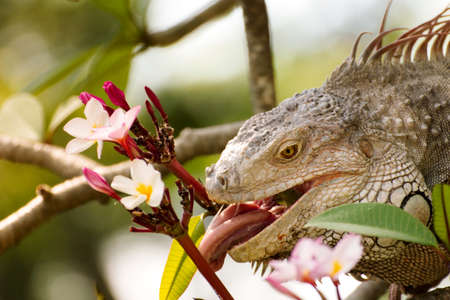 iguana lizard eating flower of Plumaria tree in the wild photo