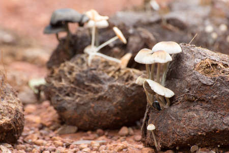 faeces: Many white mushrooms grow from Asian elephant dung on the rainforest floor in Thailand