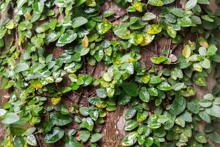 climbing fig: climbing fig wrapped around tree in the rain forest. Stock Photo