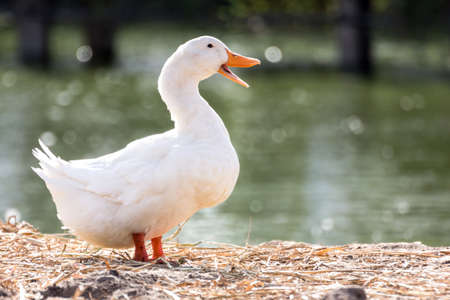 White duck stand next to a pond or lake with bokeh background Stock Photo
