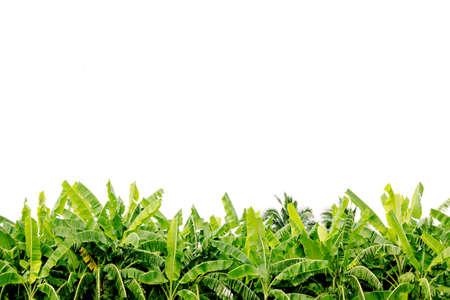 hojas de arbol: �rbol de pl�tano verde deja en la plantaci�n aislada en el fondo blanco