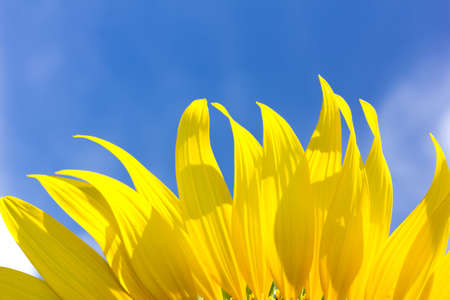 efflorescence: beautiful sunflower petals and bright blue sky Stock Photo