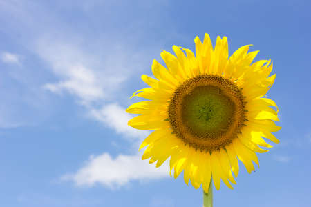 efflorescence: beautiful sunflower and bright blue sky Stock Photo