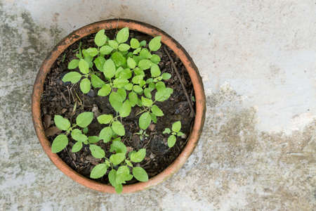 clay pot: sapling of the tree in clay pot on cement floor