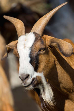 brown goat: brown goat in farm Stock Photo