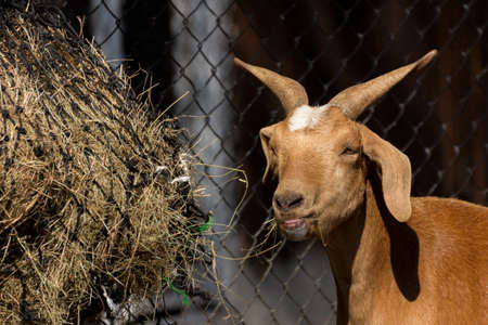brown goat: Brown goat eating hay in farm