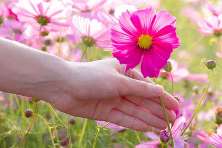 mariage: woman hand grabbing pink cosmos flower Stock Photo