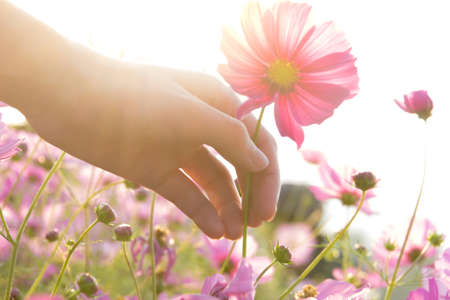grabbing: woman hand grabbing pink cosmos flower. vintage effect with soft focus.