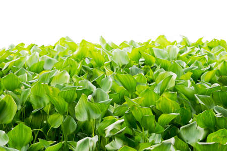 water hyacinth: green water hyacinth tree leaves isolated on white background