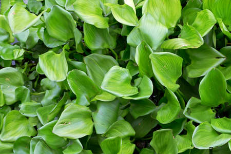 water hyacinth: crowd water hyacinth green leaves in the river, nature background