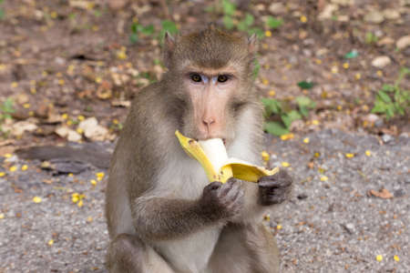eating banana: monkey eating banana.  (long-tailed macaque)