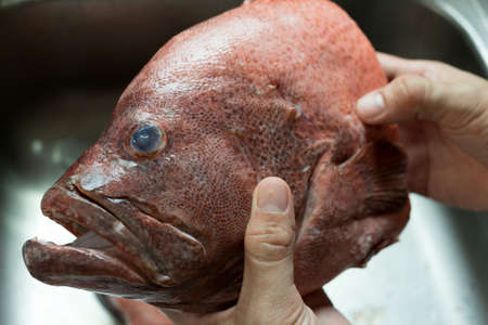 epinephelus: cleaning fish (Red-banded grouper) in the kitchen sink Stock Photo