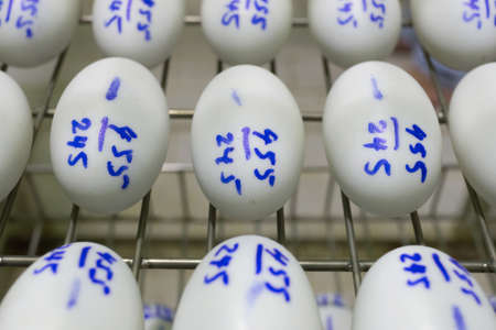 hatchery: eggs in incubator, hatching apparatus