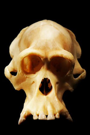 human evolution: reconstructed fossil skull of orangutan, human antecessor  and human evolution