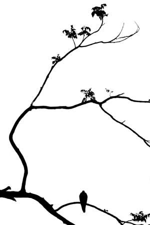 bandada pajaros: pájaro solo en la rama del árbol, aislado backg blanco