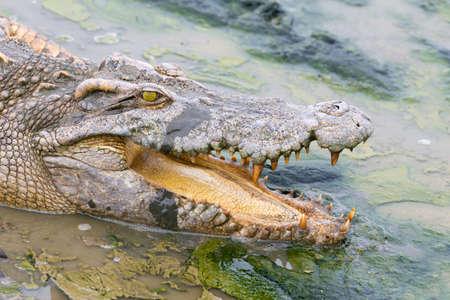 siamensis: wildlife crocodile in the water