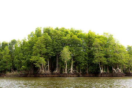 mangrove forest topical rainforest on white background Stock Photo