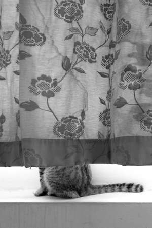 lower body: cat hide inside the curtain showing half lower body
